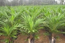 Certificadora mundial del aceite de palma sostenible rechaza queja fundamentada contra empresa Alicorp